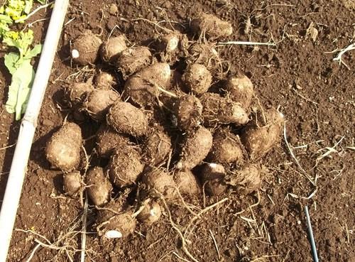 ジャガイモの植え付け準備完了!_b0137932_14274526.jpg
