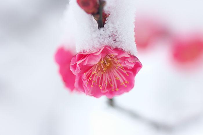 雪中梅_c0067040_23202856.jpg