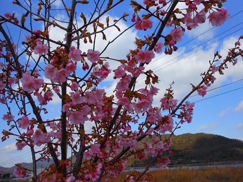 春の訪れを告げる河岸の桜_e0175370_1353541.jpg