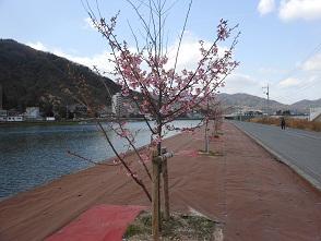 春の訪れを告げる河岸の桜_e0175370_13542499.jpg