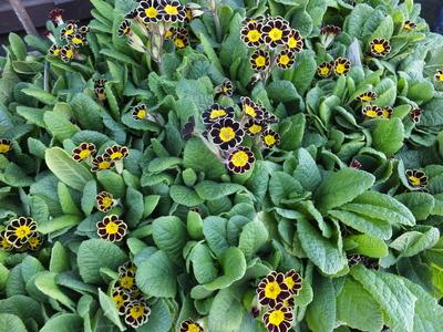 オークリーフ(繊細な春の花と多肉系)_f0049672_18181658.jpg