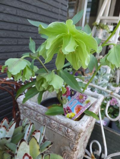 オークリーフ(繊細な春の花と多肉系)_f0049672_1818405.jpg