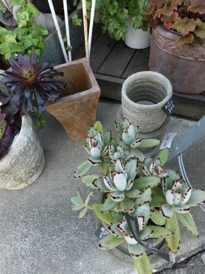 オークリーフ(繊細な春の花と多肉系)_f0049672_18193932.jpg