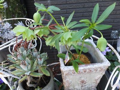 オークリーフ(繊細な春の花と多肉系)_f0049672_1820351.jpg