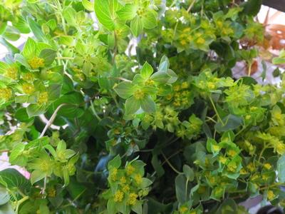 オークリーフ(繊細な春の花と多肉系)_f0049672_1834392.jpg