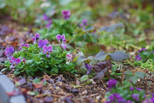 シクラメン・コウムの花!_e0181373_20265330.jpg