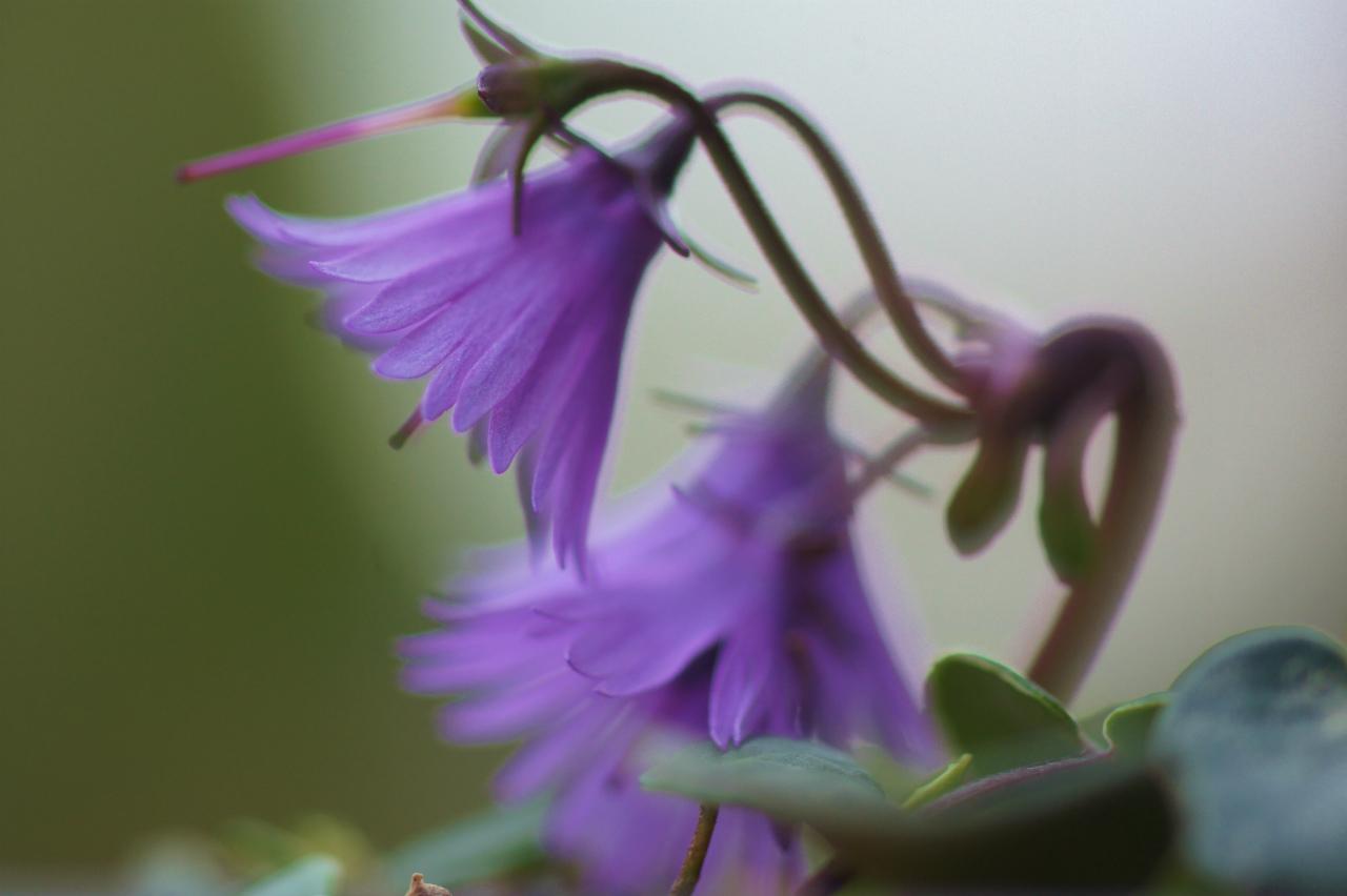 シクラメン・コウムの花!_e0181373_20265677.jpg