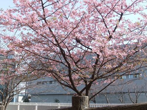梅と桜..小出川を散歩!_b0137932_13231549.jpg