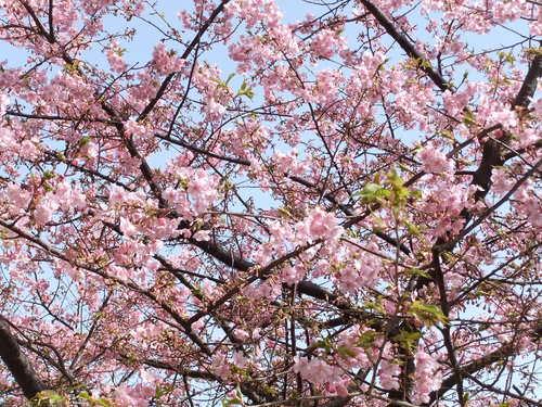 梅と桜..小出川を散歩!_b0137932_13241716.jpg