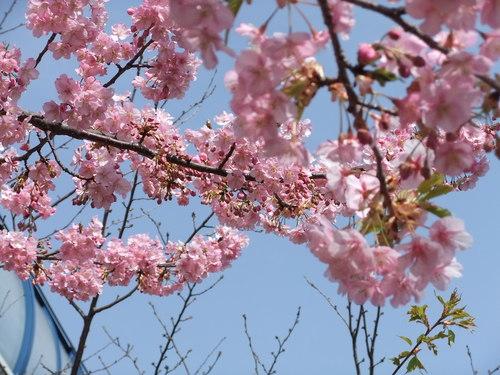 梅と桜..小出川を散歩!_b0137932_13245493.jpg