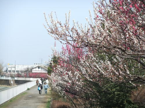 梅と桜..小出川を散歩!_b0137932_13255518.jpg