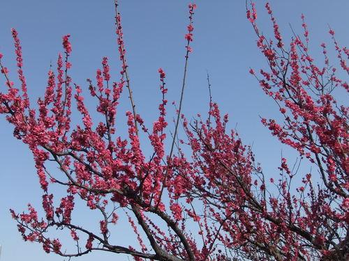 梅と桜..小出川を散歩!_b0137932_13262265.jpg