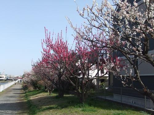梅と桜..小出川を散歩!_b0137932_1328476.jpg