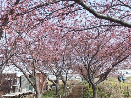 梅と桜..小出川を散歩!_b0137932_1331579.jpg