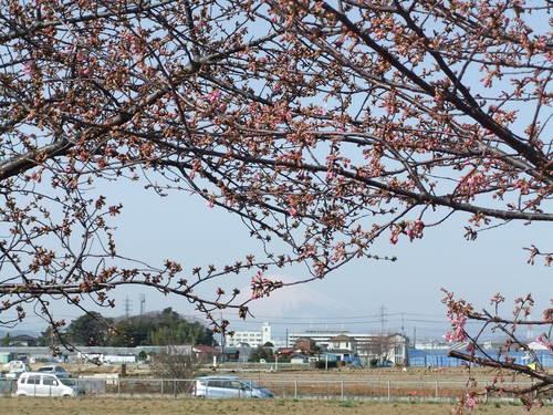 梅と桜..小出川を散歩!_b0137932_13335794.jpg