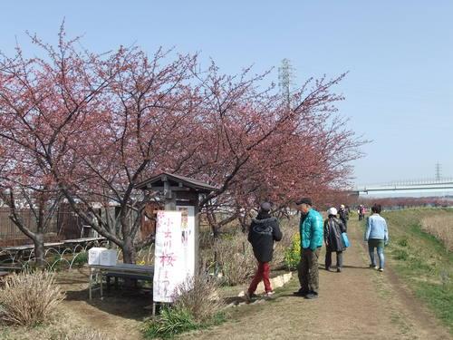 梅と桜..小出川を散歩!_b0137932_13365013.jpg