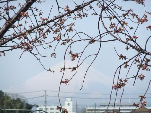 梅と桜..小出川を散歩!_b0137932_13391315.jpg