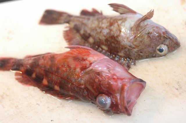 明石の魚 もちろん元気です!_d0268290_140555.jpg