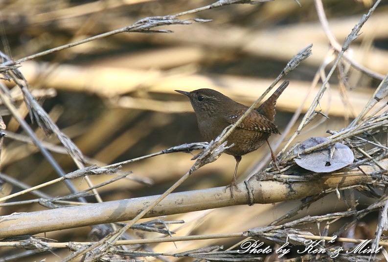 ちっちゃな鳥さん 「ミソサザイ」 さん~Σ^) _e0218518_22251849.jpg