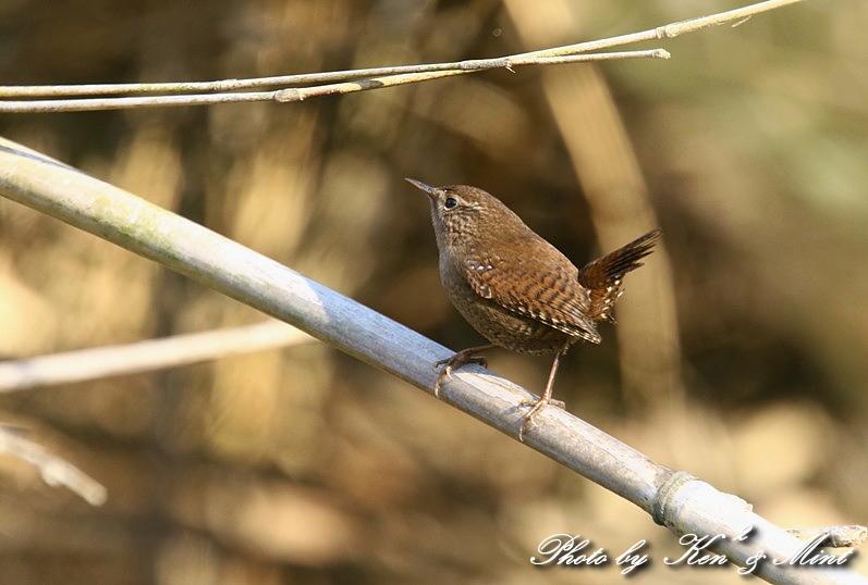 ちっちゃな鳥さん 「ミソサザイ」 さん~Σ^) _e0218518_2225395.jpg