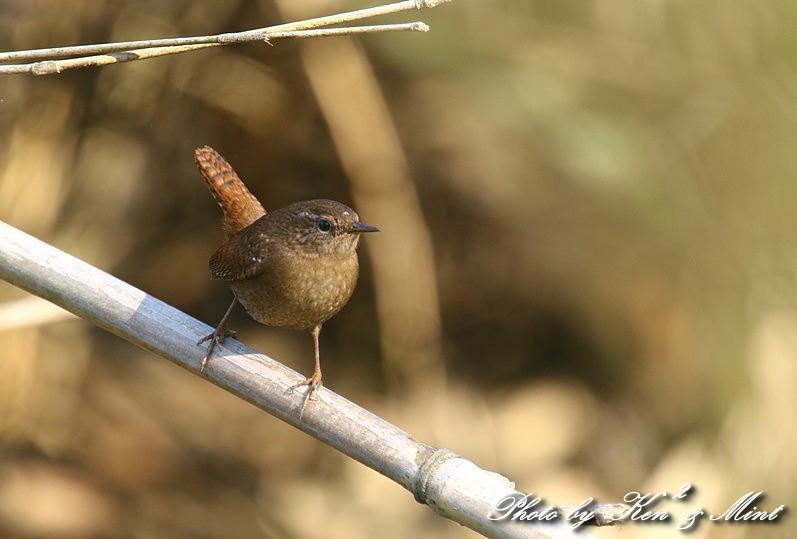ちっちゃな鳥さん 「ミソサザイ」 さん~Σ^) _e0218518_22255350.jpg