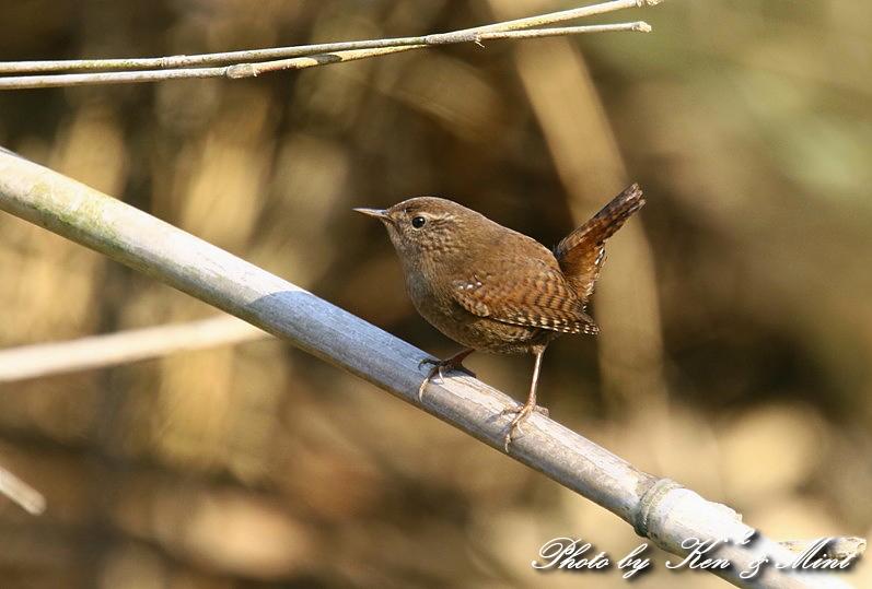 ちっちゃな鳥さん 「ミソサザイ」 さん~Σ^) _e0218518_2226841.jpg