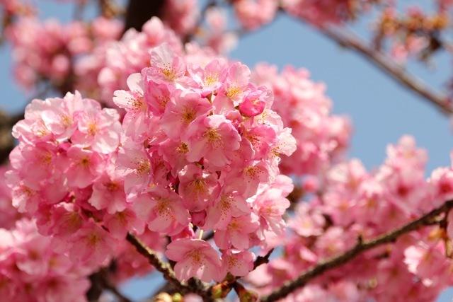 【まつだ桜まつり】_f0348831_12551828.jpg