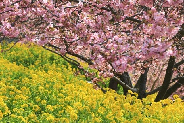 【まつだ桜まつり】_f0348831_12552619.jpg