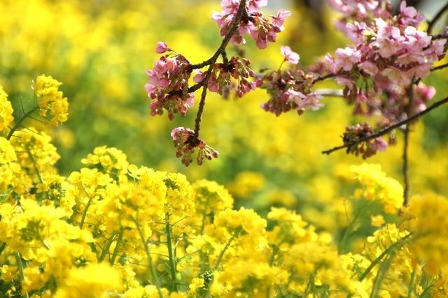 【まつだ桜まつり】_f0348831_12552913.jpg