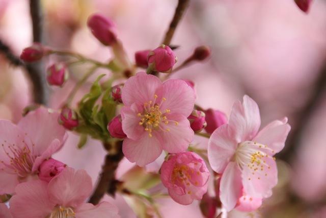 【まつだ桜まつり】_f0348831_13021106.jpg