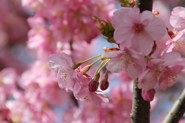 【まつだ桜まつり】_f0348831_13021683.jpg