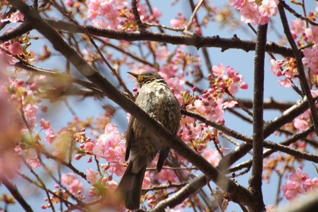 【まつだ桜まつり】_f0348831_13022189.jpg