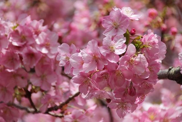 【まつだ桜まつり】_f0348831_13082589.jpg