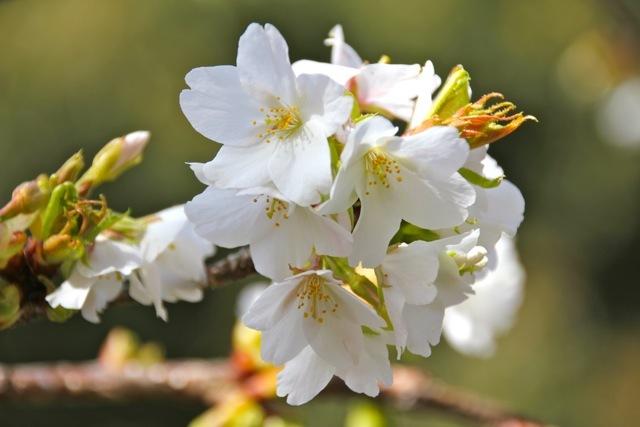 【まつだ桜まつり】_f0348831_13084338.jpg