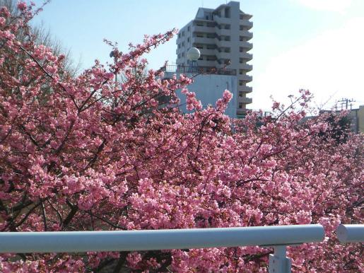 河津桜_c0087349_16591712.jpg