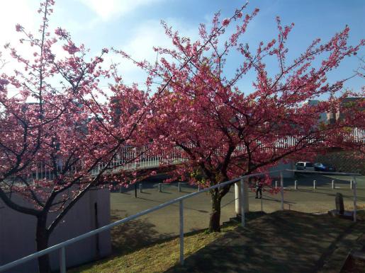 河津桜_c0087349_16593653.jpg