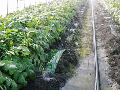 長尾ブランドの新鮮野菜!大人気の朝採りダイコンに続き、朝採りニンジン、朝採りほうれん草販売スタート!_a0254656_17471070.jpg