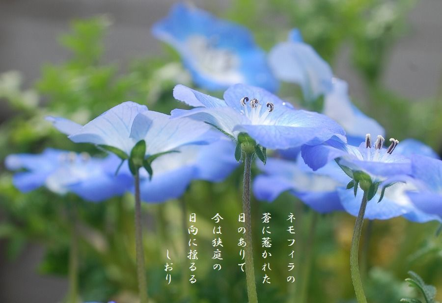 庭のネモフィラ_c0187781_03163556.jpg