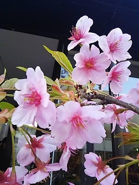 ウーマンエキサイト * ☆さんぽ * 可憐 代官山の桜咲いて 弥生 三月☆♥ 夜越しの月とはるていす☆。†_a0053662_313738.jpg