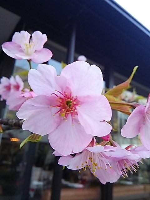 ウーマンエキサイト * ☆さんぽ * 可憐 代官山の桜咲いて 弥生 三月☆♥ 夜越しの月とはるていす☆。†_a0053662_321727.jpg