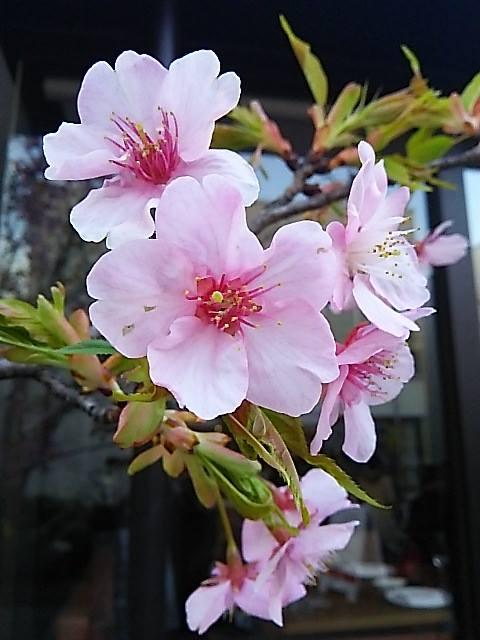 ウーマンエキサイト * ☆さんぽ * 可憐 代官山の桜咲いて 弥生 三月☆♥ 夜越しの月とはるていす☆。†_a0053662_32557.jpg