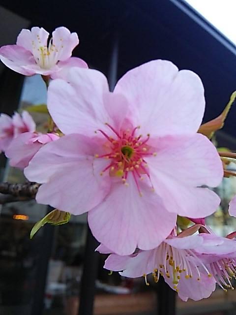 ウーマンエキサイト * ☆さんぽ * 可憐 代官山の桜咲いて 弥生 三月☆♥ 夜越しの月とはるていす☆。†_a0053662_33839.jpg