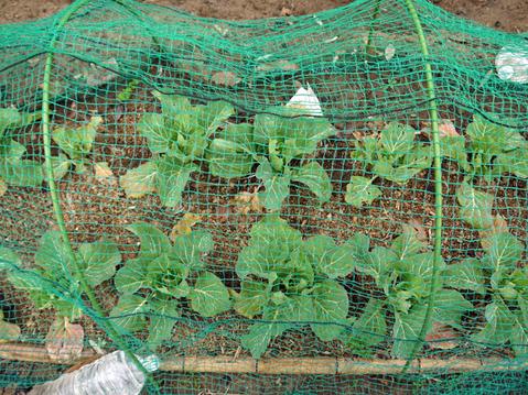 春キャベツ初収穫、千切りにしてポークソティに添えた:3・1_c0014967_919333.jpg