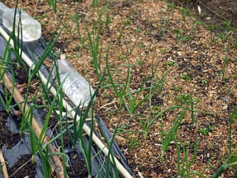 春キャベツ初収穫、千切りにしてポークソティに添えた:3・1_c0014967_9201520.jpg