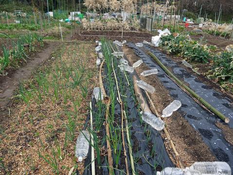 春キャベツ初収穫、千切りにしてポークソティに添えた:3・1_c0014967_9202935.jpg