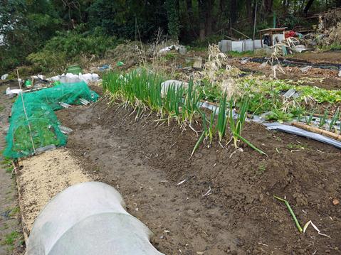 春キャベツ初収穫、千切りにしてポークソティに添えた:3・1_c0014967_9203920.jpg