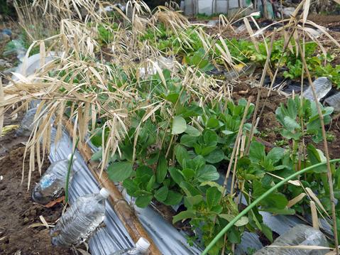 春キャベツ初収穫、千切りにしてポークソティに添えた:3・1_c0014967_9205545.jpg