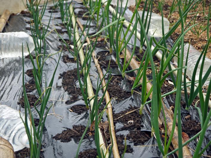 春キャベツ初収穫、千切りにしてポークソティに添えた:3・1_c0014967_920619.jpg