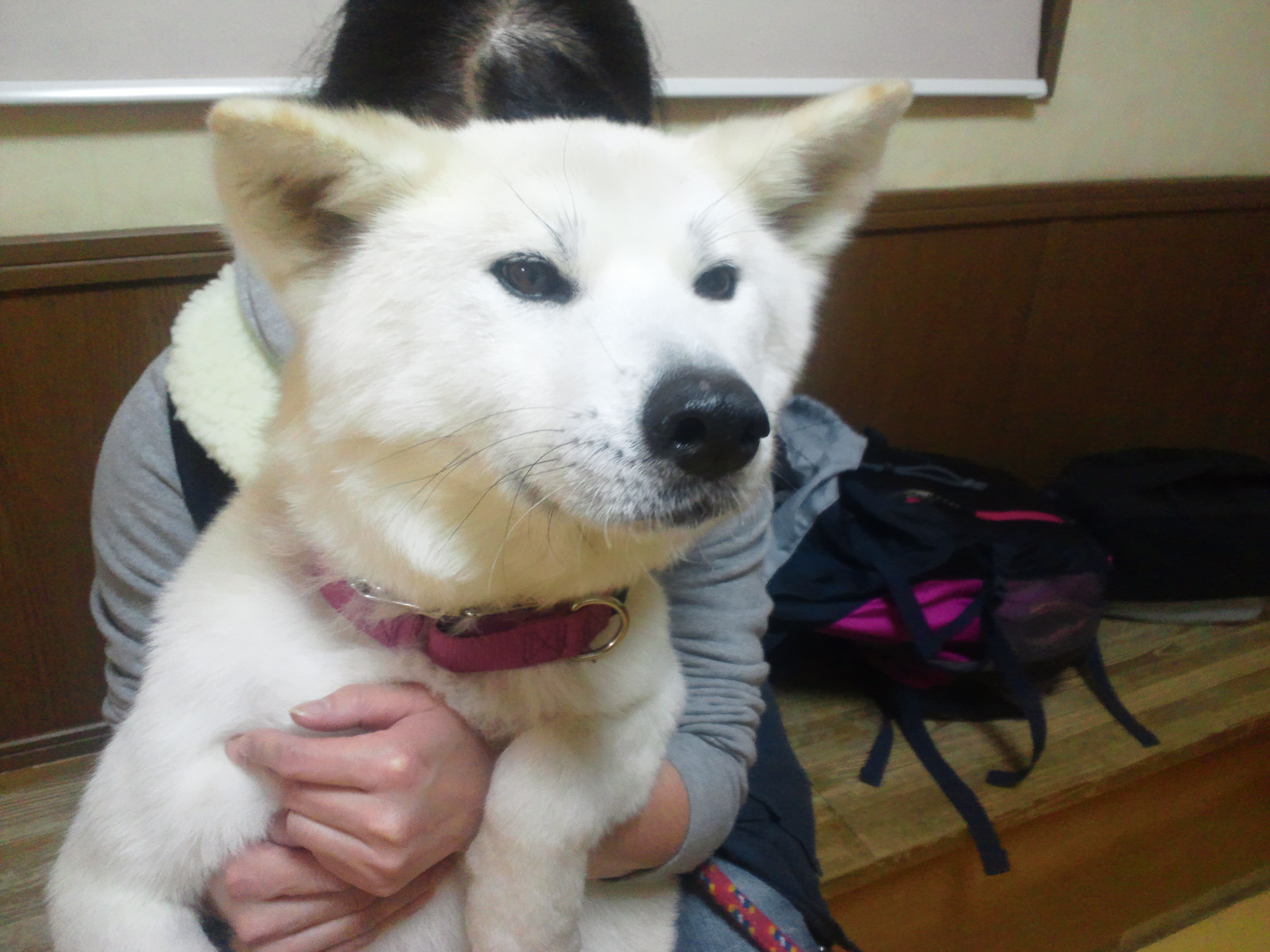 秋田犬あっきぃの再手術_f0242002_113177.jpg