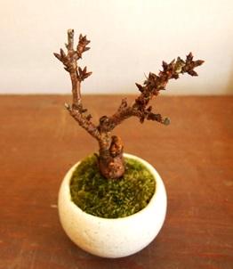 3/15(日)桜盆教室 参加者募集中です_d0263815_15451725.jpg